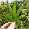 Чем заменить марихуану